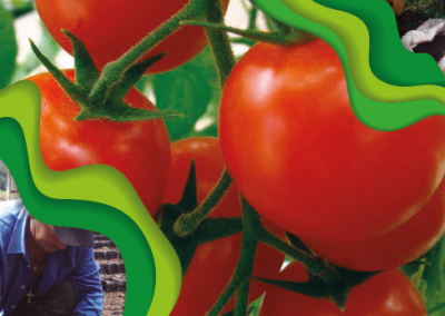 Tomato RECOMMENDATIONS FOR ITS PRODUCTION